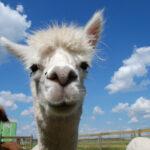 Raus in die Natur mit Lamas und Alpakas